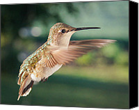 Ruby Throated Canvas Prints - Short Stuff Canvas Print by Bill Pevlor