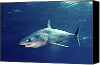 Endangered Canvas Prints - Shortfin Mako Sharks Canvas Print by James R.D. Scott