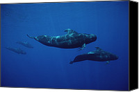 Whale Canvas Prints - Shortfinned Pilot Whale Pod Hawaii Canvas Print by Flip Nicklin