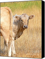 Ranches Canvas Prints - Shy White Calf Canvas Print by Jennie Marie Schell