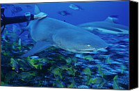 Stroking Canvas Prints - Sicklefin Lemon Shark Canvas Print by Alexis Rosenfeld