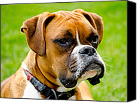 Boxer Dog Canvas Prints - Sidney The Boxer Canvas Print by Chris Thaxter