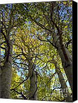 Sierra Canvas Prints - Sierra Nevada Aspen Fall Color Canvas Print by Scott McGuire