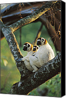 Berenty Canvas Prints - Sifaka Propithecus Sp Family Resting Canvas Print by Cyril Ruoso