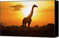 Cloud Glass Canvas Prints - Silhouette Giraffe At Sunset Canvas Print by Joost Notten
