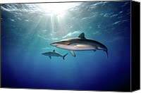 Sea Animals Canvas Prints - Silky Sharks Canvas Print by James R.D. Scott