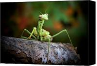 Outdoor Still Life Canvas Prints - Silly Mantis Canvas Print by Karen M Scovill