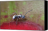 Bugs Canvas Prints - Silver Spiny Ant Canvas Print by Arj Munoz