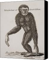 Anthropomorphism Canvas Prints - Simia Lar, Great Gibbon. Engraved By Canvas Print by Ken Welsh
