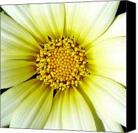 White Daisy Canvas Prints - Simply Daisy Canvas Print by JoAnn SkyWatcher