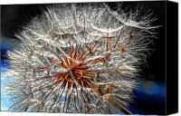 Tragopogon Dubius Scop Canvas Prints - Simply Grand 2 Canvas Print by Steve Harrington