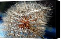 Tragopogon Dubius Scop Canvas Prints - Simply Grand Canvas Print by Steve Harrington