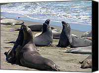 Cambria Photo Canvas Prints - Singing Seals Canvas Print by Helen Haw