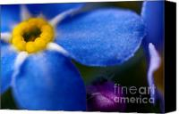 "\""forget Me Not Flowers\\\"" Canvas Prints - Single Blue Wood-Forget-Me-Not Canvas Print by Ryan Kelly"