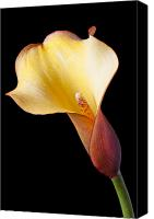 Callas Canvas Prints - Single calla liliy Canvas Print by Garry Gay