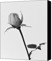 (c) 2010 Canvas Prints - Single Rose Canvas Print by Ryan Kelly