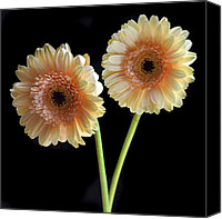 Daisies Flowers Canvas Prints - Sisters. Canvas Print by Terence Davis