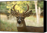 Whitetail Buck Canvas Prints - Six Point Whitetail 0333 Canvas Print by Michael Peychich