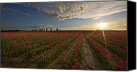 Vernon Canvas Prints - Skagit Tulip Fields Sunset Canvas Print by Mike Reid