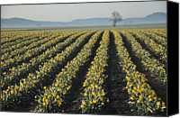 Vernon Canvas Prints - Skagit Valley Daffodils Canvas Print by Dene