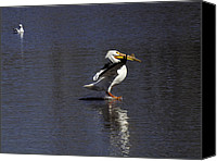 White Pelican Canvas Prints - Skidding Across The Water Canvas Print by Thomas Young