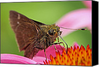 Monarch  Canvas Prints - Skipper Moth Canvas Print by Juergen Roth