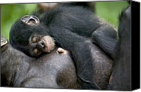 Apes Canvas Prints - Sleeping Baby Chimpanzee Canvas Print by Cyril Ruoso