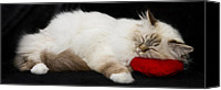 Pillow Canvas Prints - Sleeping Birman Canvas Print by Melanie Viola