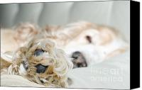 Dog Bed Photo Canvas Prints - Sleeping dog Canvas Print by Mats Silvan