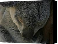 Koala Canvas Prints - Sleeping Koala Bear Canvas Print by Anthony Jones