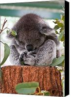 Koala Canvas Prints - Sleeping Koala Canvas Print by Gordon Pressley