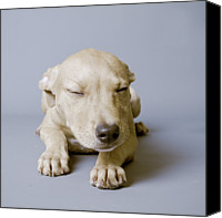 Gulf Coast States Canvas Prints - Sleeping Puppy On White Background Canvas Print by Square Dog Photography