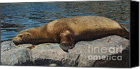 Critters Mixed Media Canvas Prints - Sleeping Sea Lion Canvas Print by Angela Doelling AD DESIGN Photo and PhotoArt