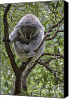 Koala Canvas Prints - Sleepy koala Canvas Print by Sheila Smart