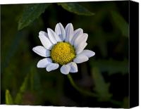 Floral Photo Canvas Prints - Small Daisy Canvas Print by Svetlana Sewell