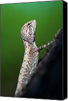 Lizard Canvas Prints - Small Lizard Canvas Print by Xavier Hoenner Photography