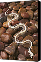 Poison Canvas Prints - Snake skeleton  Canvas Print by Garry Gay