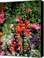 Photographic Art Print Canvas Prints - Snapdragons Canvas Print by Rona Black