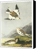 Bunting Painting Canvas Prints - Snow Bunting Canvas Print by John James Audubon