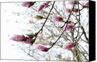 Tree Blossoms Canvas Prints - Snow Capped Magnolia Tree blossoms 2 Canvas Print by Andee Photography
