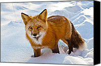 Critter Canvas Prints - Snow Fox Canvas Print by Bronze Riser