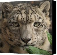 Leopards Canvas Prints - Snow Leopard 13 Canvas Print by Ernie Echols