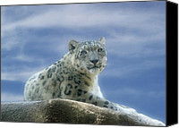 Leopards Canvas Prints - Snow Leopard Canvas Print by Sandy Keeton