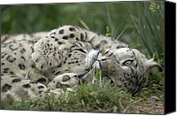Animal Behaviour Canvas Prints - Snow Leopard Uncia Uncia Pair Playing Canvas Print by Cyril Ruoso