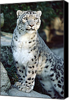 Animals And Earth Canvas Prints - Snow Leopard Uncia Uncia Portrait Canvas Print by Gerry Ellis