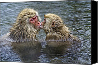 Monkeys Canvas Prints - Snow Monkey Kisses Canvas Print by Michele Burgess