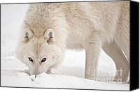 Wolf Cubs Canvas Prints - Snow Nose Canvas Print by Michael Cummings