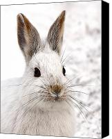 Jim Cumming Canvas Prints - Snowshoe Hare Canvas Print by Jim Cumming
