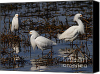 Snowy Egrets Canvas Prints - Snowy Egret . 7D11903 Canvas Print by Wingsdomain Art and Photography