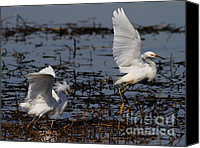 Snowy Egrets Canvas Prints - Snowy Egret . 7D11958 . Version 2 Canvas Print by Wingsdomain Art and Photography